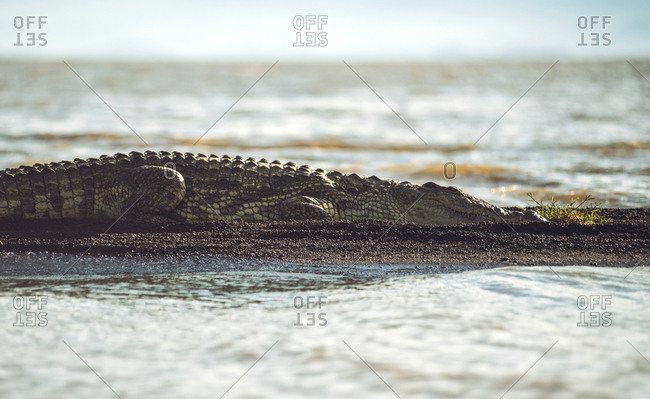 Large wild crocodile lying on shore near calm water and sleeping on sunny day in national park in Ethiopia
