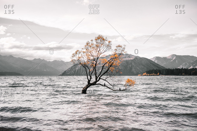 Fascinating landscape of thin tree with black trunk and yellow leaves in fast waves on background of grey mountains in Lake Wanaka and Lake Hawea in New Zealand