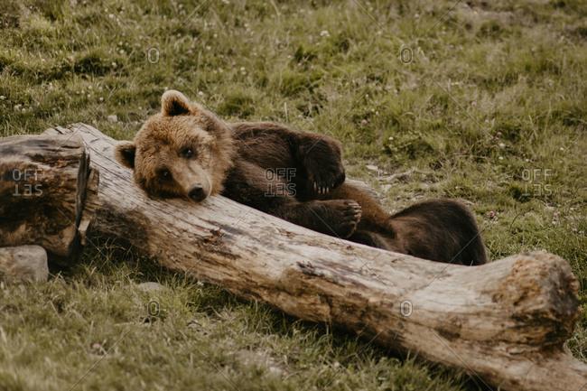 Furry brown beard leaning on fallen tree trunk in field