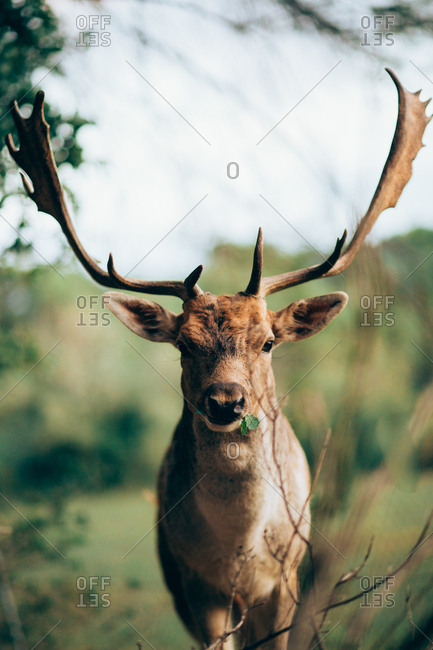 Young wapiti with large antlers chewing green leaves while grazing on blurred background of nature