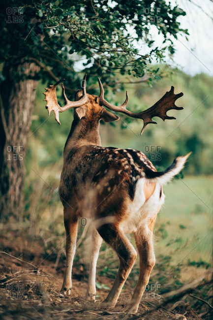 Back view of young wapiti with large antlers chewing green leaves while grazing on blurred background of nature