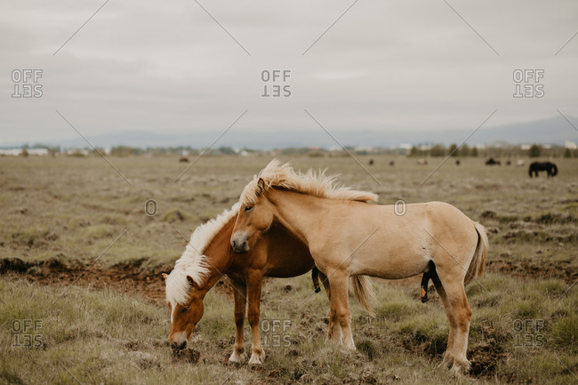 Two beautiful horses eating dry grass while standing in wonderful meadow on autumn day