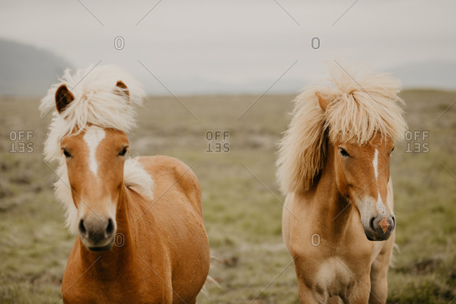 Close-up view of two beautiful horses trotting in wonderful meadow on autumn day