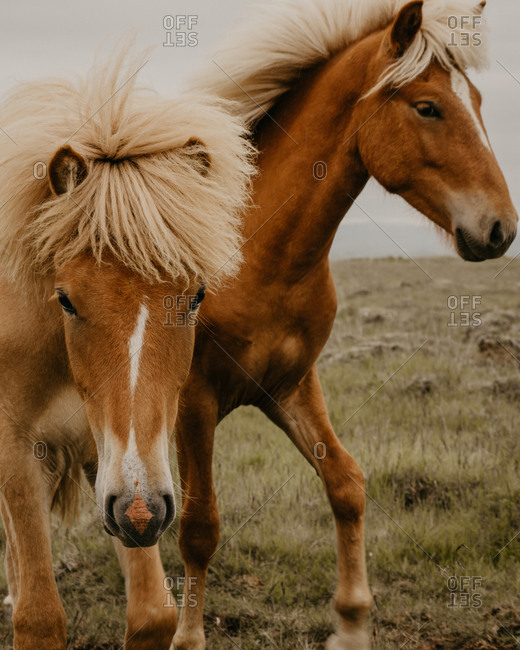 Close-up view of two beautiful horses eating dry grass while standing in wonderful meadow on autumn day