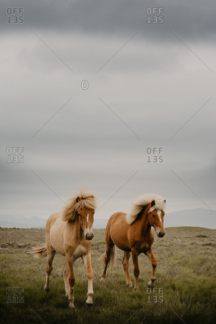 Two beautiful horses trotting in wonderful meadow on autumn day
