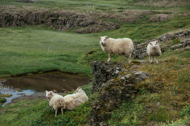 Herd of male sheep standing on rocky and green scenario in nature