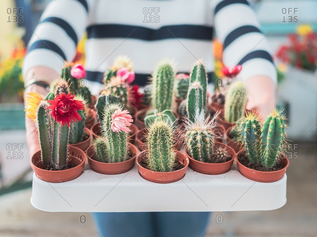 Crop hands of woman holding tray with blooming cactus plants in pots on blurred background