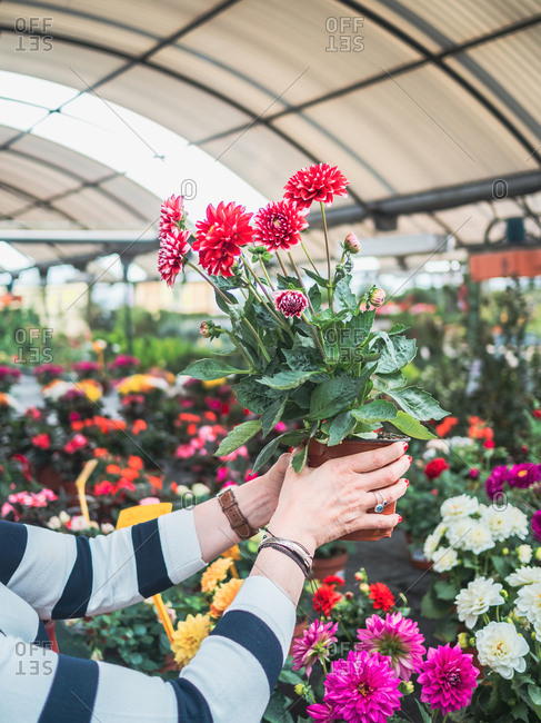 Crop hands of woman studying pot with beautiful red chrysanthemum flowers in greenhouse