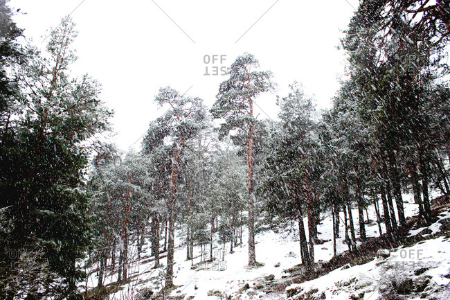Countryside road covered with white snow going through quiet conifer forest