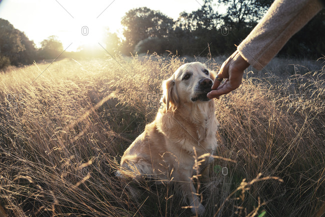 Crop woman giving treat to adorable retriever sitting on grass in golden sunset light