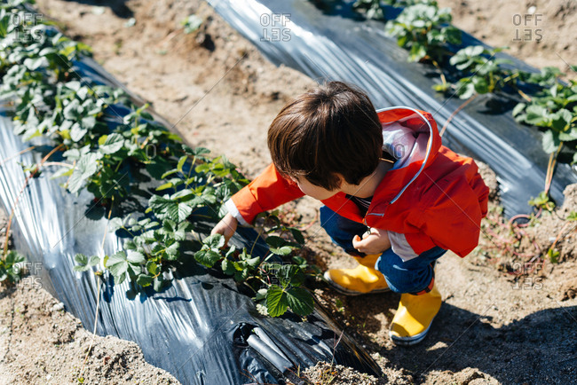 From above kid in red raincoat and yellow rubber boots touching green leaves of plants on beds in ground in bright day
