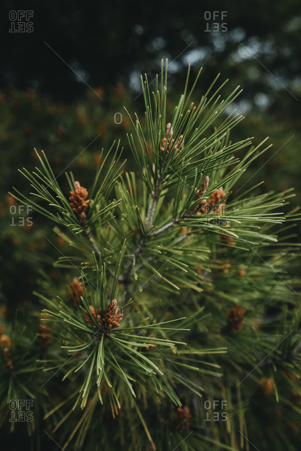 Branch of spruce tree with long green needles in wild woods
