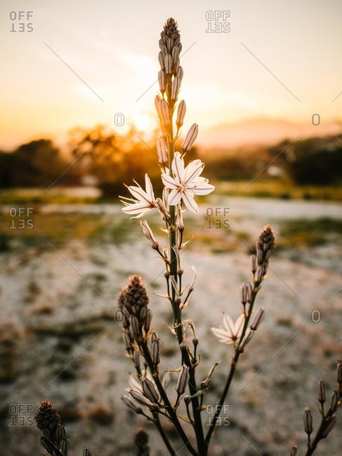 Bloomy flower of asphodel in picturesque terrain at beautiful sundown