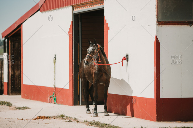 Beautiful breed chestnut horse standing on leash near white stable building in sunshine