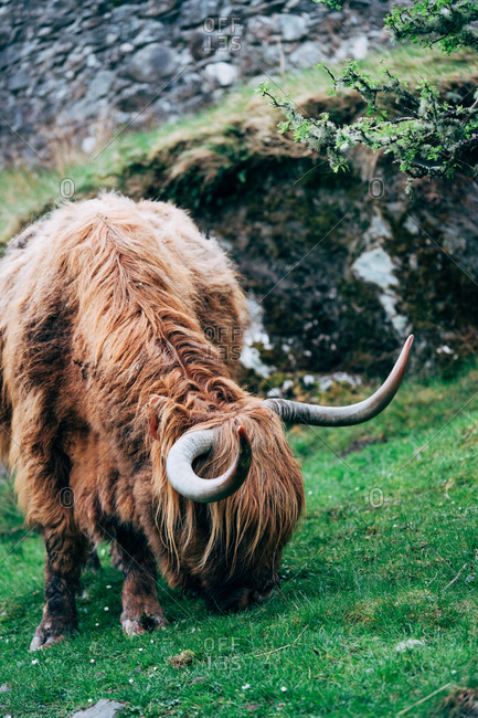 Huge ginger yak feeding on green lawn against aged stone building, Scotland