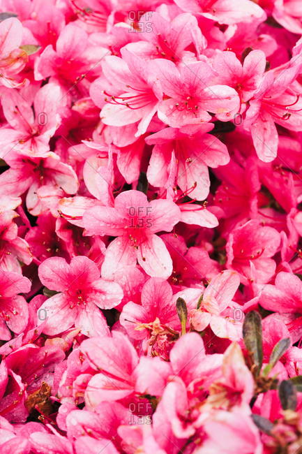 Closeup of vivid pink colored petals of flowers with green leaves