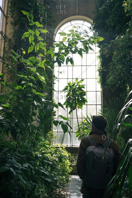 Back view of man with backpack walking between green plants and bushes inside of old greenhouse with high ceiling and arched window, Scotland