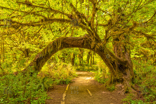 Path in the Hoh Rain Forest, Washington