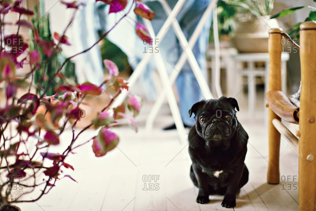 Portrait of black pug sitting by plant on hardwood floor at home