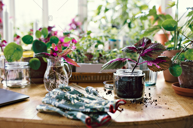Gardening glove by plants in jars on table at home