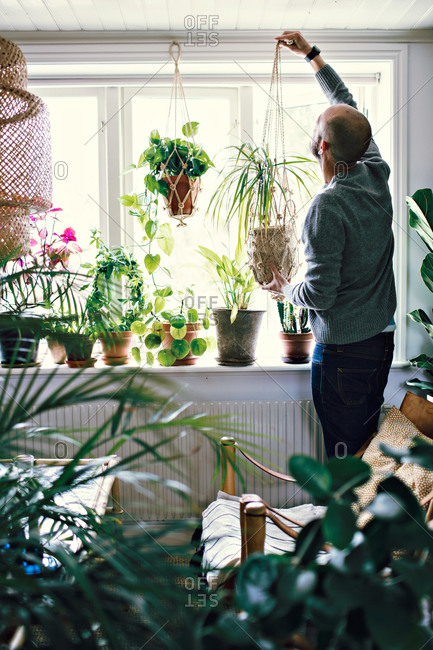 Rear view of male environmentalist hanging potted plant on window in room at home