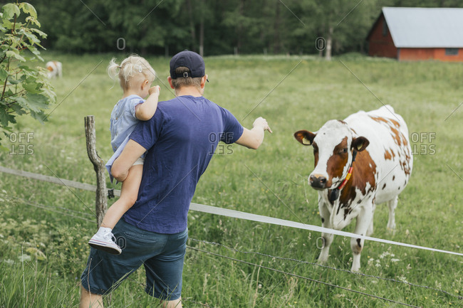 Father showing daughter cow