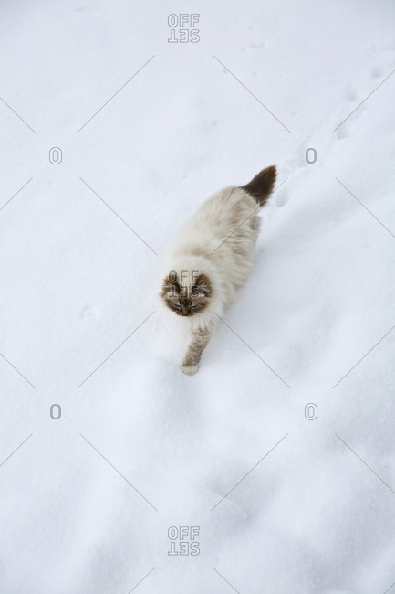 Cat walking through snow
