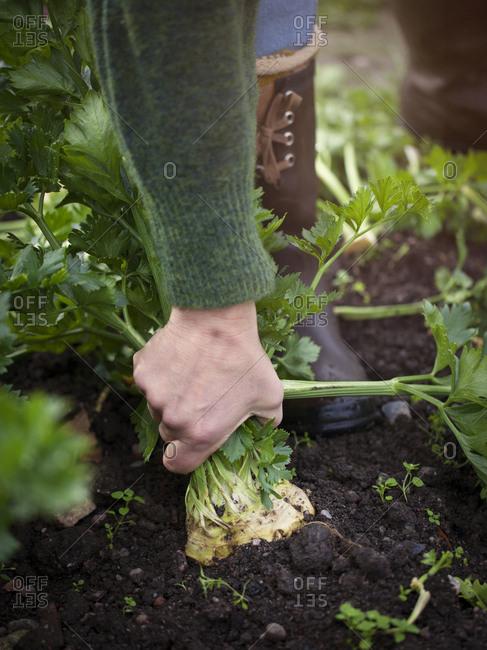 Woman pulling celeriac up