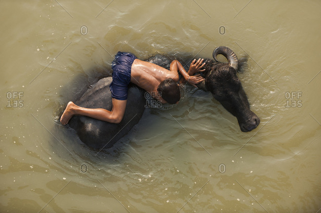 A Nepali boy plays in a river with the water buffaloes