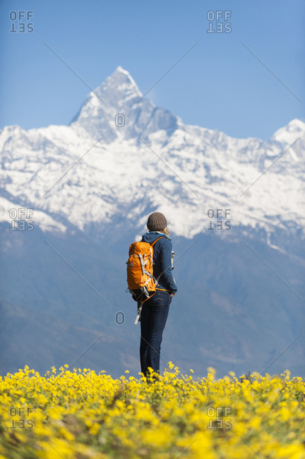 A trekker stops among mustard flowers to look at Fishtail mountain