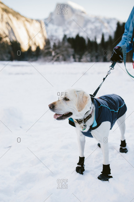 A dog walking in the snow in Yosemite National Park
