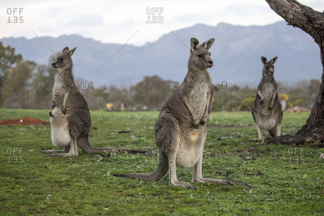 Three kangaroos stand together in Wartook, Victoria, Australia