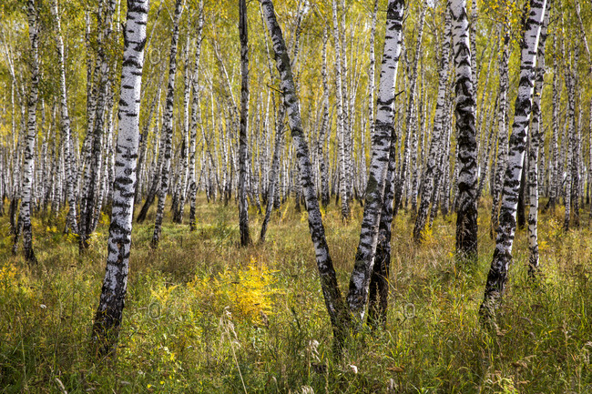 Endless birch trees on the main road of Siberia