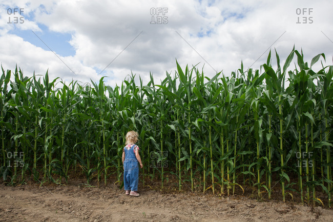 CARNATION, WASHINGTON, USA. A blonde toddler in denim overalls stands at the edge of a field of corn, looking into the rows.