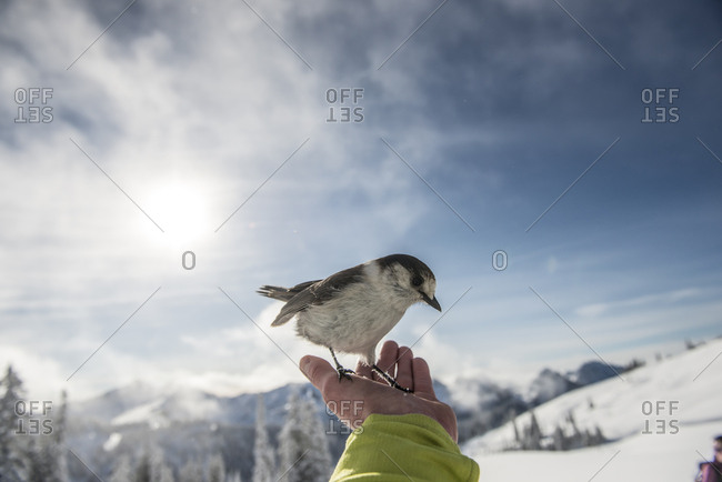 A grey jay sits on the hand of a back country skier in Mount Rainier National Park.