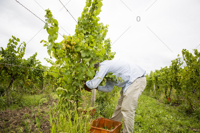 A man picks grapes off vines at a vineyard in the Finger Lakes region of upstate New York