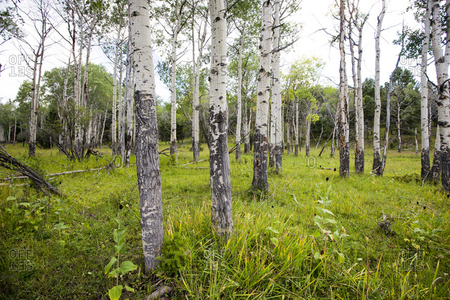 Forest Of Aspen Tree In Yellowstone National Park, Wyoming, USA