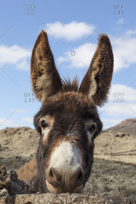 Portrait of a donkey, Fuerteventura. Canary Islands