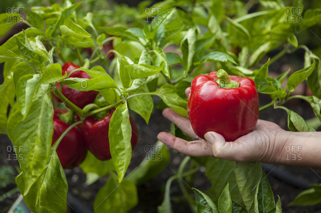 A woman picks red bell peppers (Capsicum annuum) in her garden in Seattle, Washington.