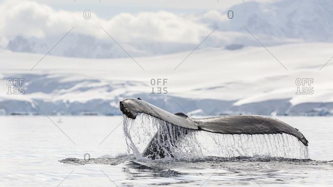 Humpback whale fluke, Wilhelmina Bay, Antarctic Peninsula, Antarctica.