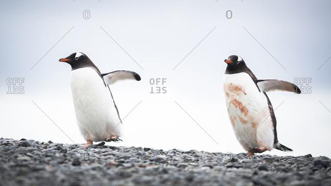 Two Gentoo Penguins, Elephant Point, Livingstone Island, South Shetland Islands, Antarctica.