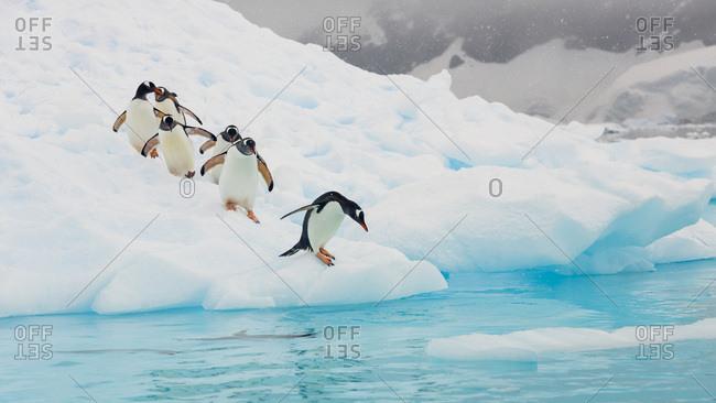 Gentoo Penguins, Neko Harbor, Antarctic Peninsula, Antarctica.