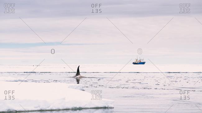 An Orca surfaces near the Akademik Shokalskiy.