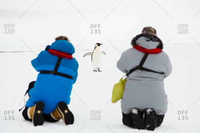 An Emperor Penguin poses for photos.