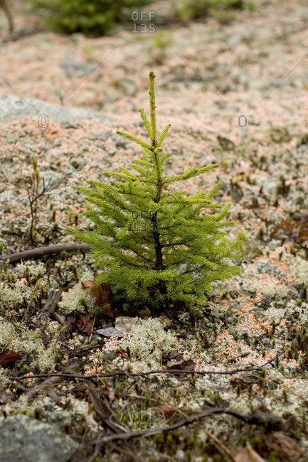A young evergreen seedling grows near the #5 bog in Maine's North Woods near Greenville.