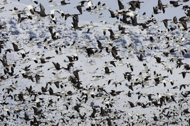 Large flocks of migratory birds stop over in the Tule Lake National Wildlife refuge outside of Tule Lake, CA.