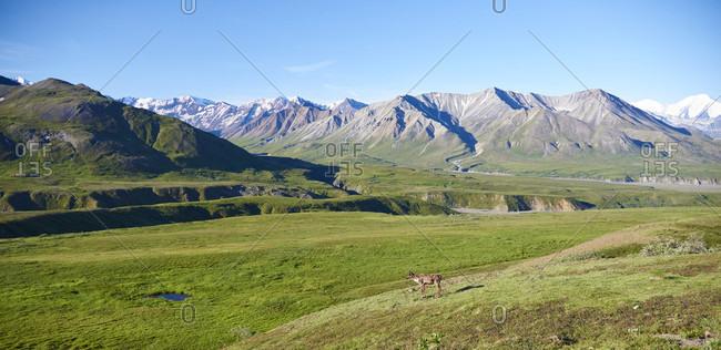 Caribou and the Alaska Range in Denali NP