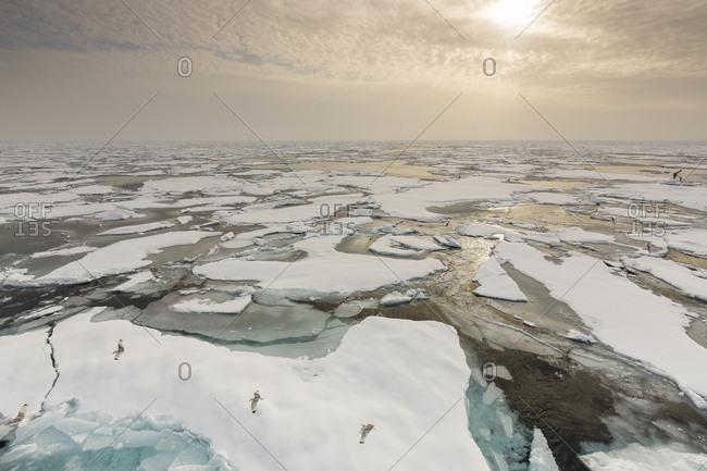 fleecy sky and glaucous gulls, Larus Glaucoides, Spitzbergen, Svalbard