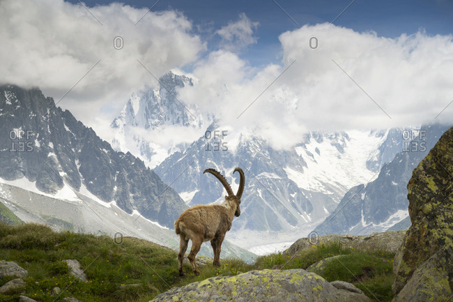 A mountain goat, IBEX or Bouquetin, is staring over the Mer de Glace glacier above Chamonix in the French Alps.
