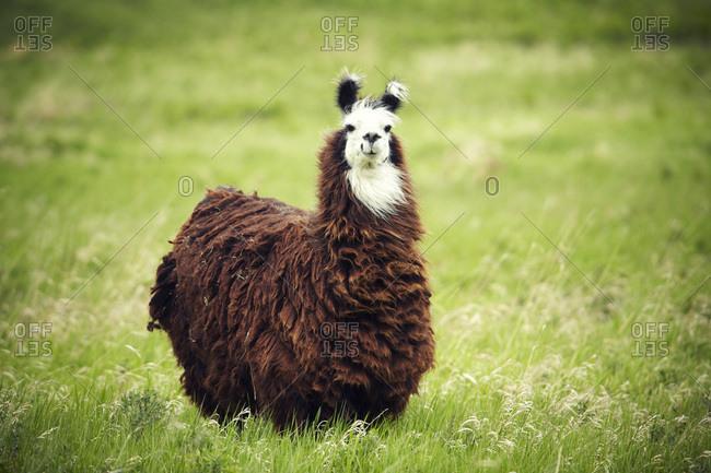 An Alpaca (Vicugna pacos) poses for a portrait on a farm in the Alberta Canadian prairies.